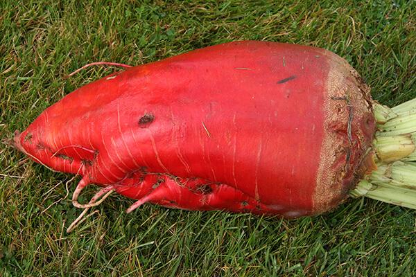BETIMO (RS) Fodder Beet Notman Seeds