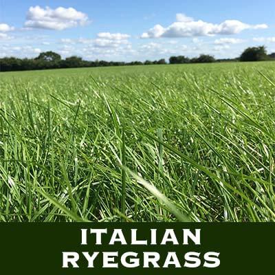 Italiensk raigras