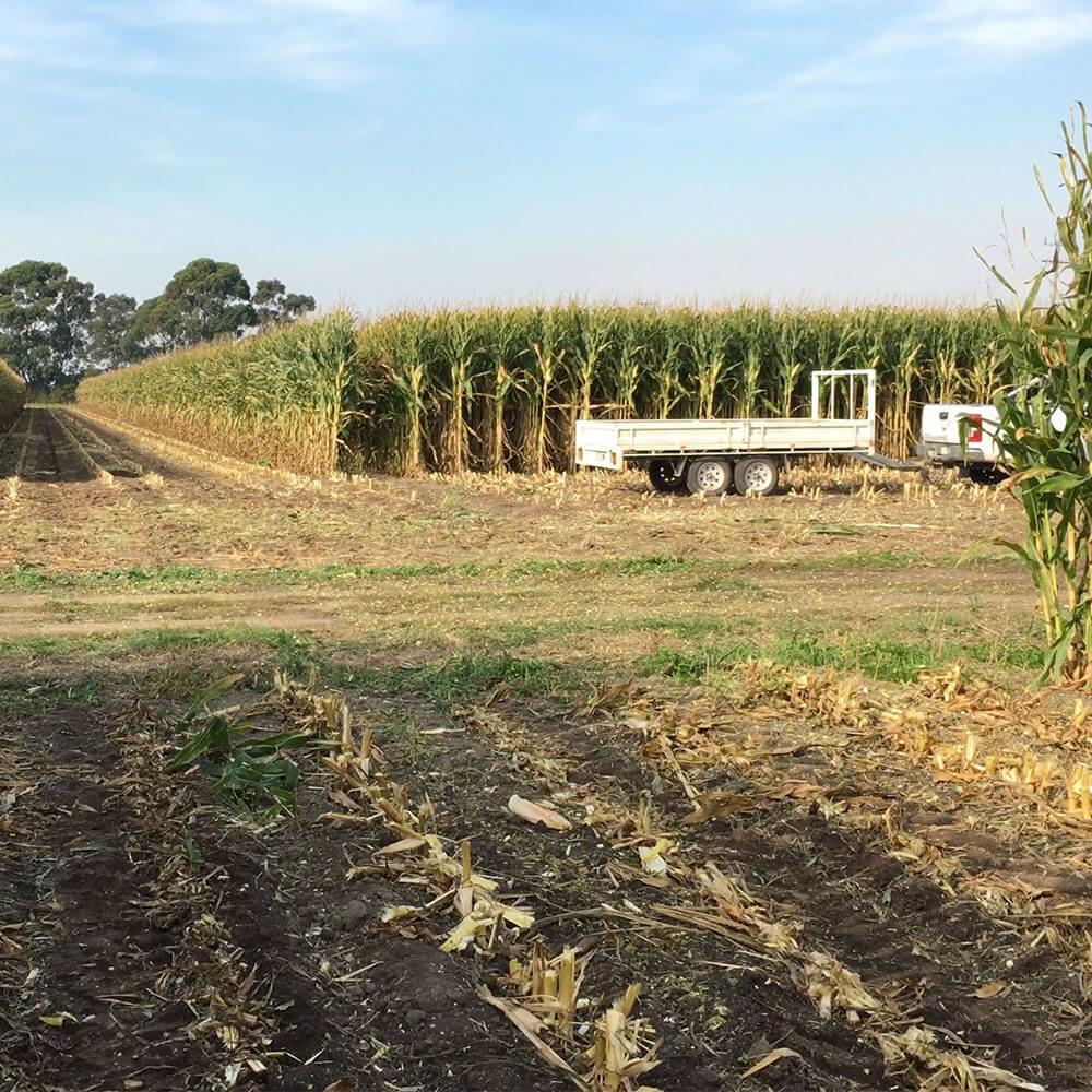 P1467 Maize