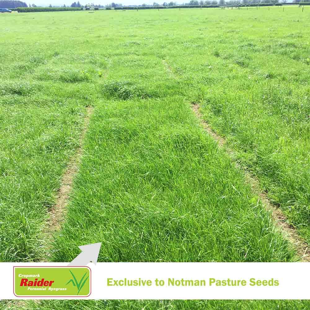 Raider NEA2/6 Perennial Ryegrass