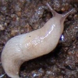 Slugs-Notman-Pasture-Seeds