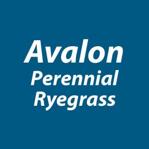 Avalon perennial ryegrass - Notman Pasture Seeds