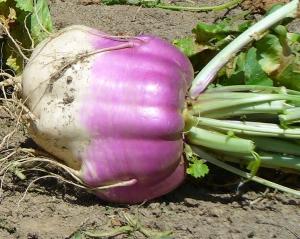 Marco turnip