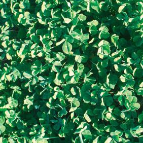 Bindoon Sub Clover - Notman Pasture Seeds