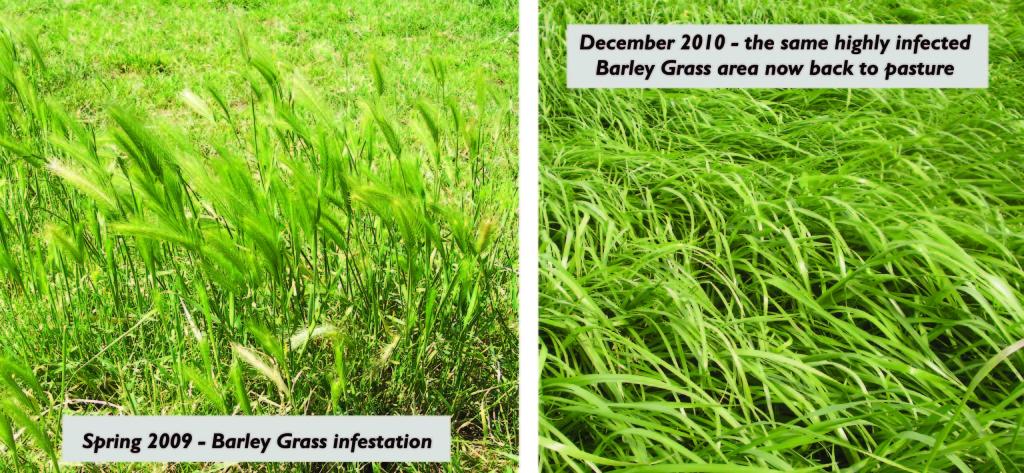 Barley Grass Control Comparisson