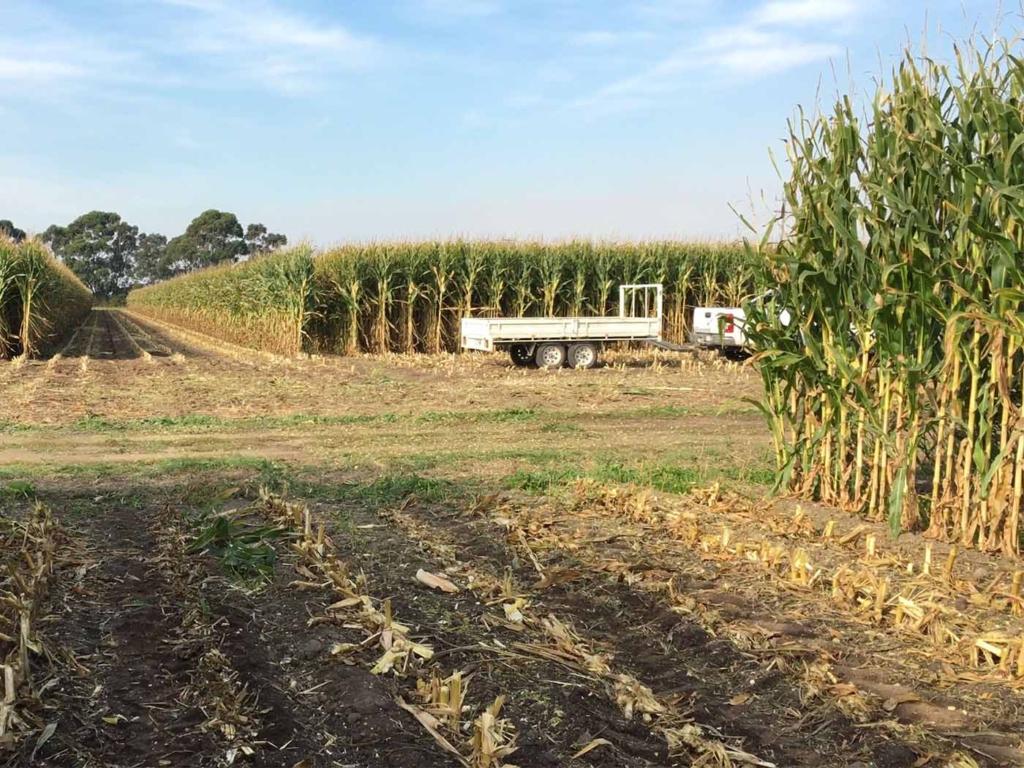 Pioneer Maize P1467 Cora Lynn. Notman Pasture Seeds. Gippsland.