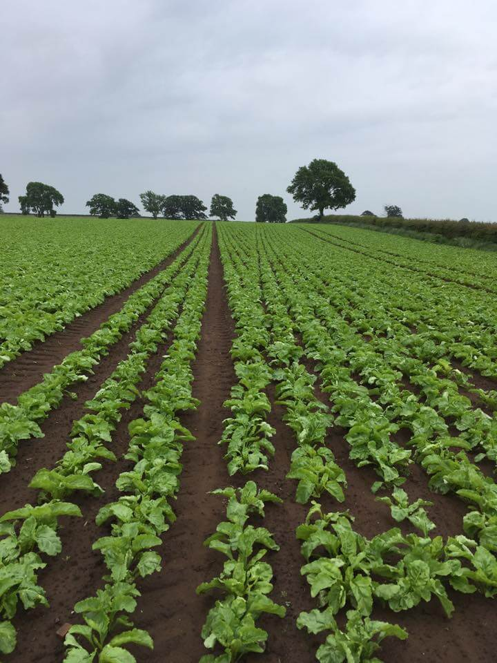 Fodder Beet - Notman Seeds