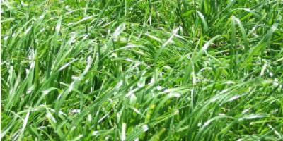short-term-blend-notman-pasture-seeds-II