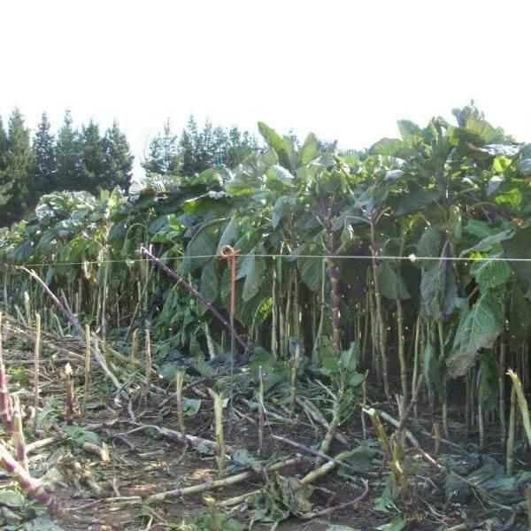 Coleor-Kale-Notman-Seeds-002