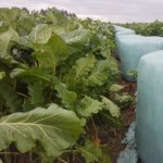 Coleor-Kale-Notman-Seeds
