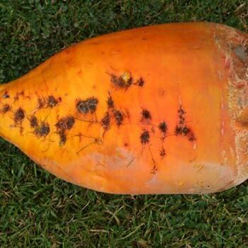Geronimo-fodder-beet-bulb-notman-seeds