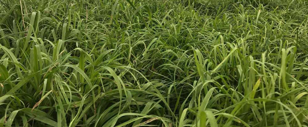 Leona-Prairie-Grass-Notman-Seeds