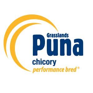 Puna-Chicory-Notman-Seeds