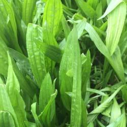 Oracle-plantain-notman-seeds