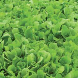 Pasja-leafy-turnip-notman-seeds