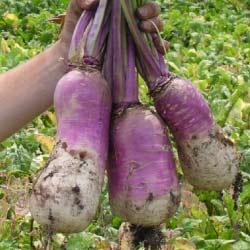 barkant-turnip-notman-seeds