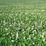 Demand NZ White Clover - Notman Pasture Seeds