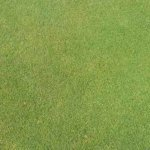 Notman Seeds Turf Bentgrass 001
