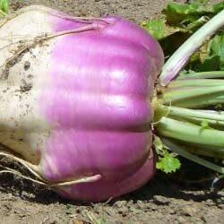 marco-turnip-notman-seeds